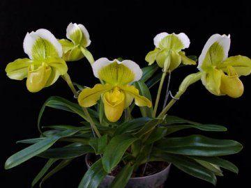 orhideja pafiopedilyum