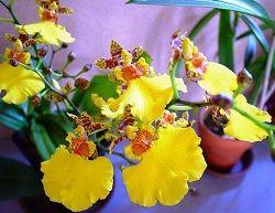 Орхидея с капризным нравом: уход в домашних условиях
