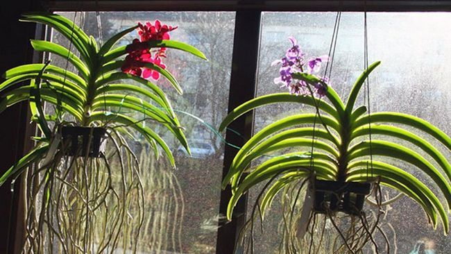 уход за орхидеей ванда