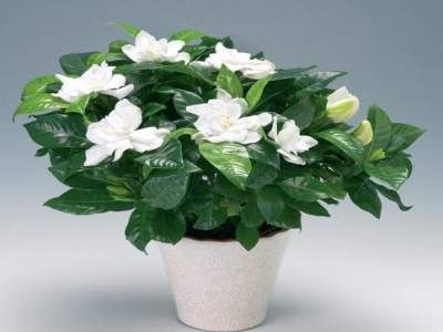 Značilnosti Gardenia jasminoides nego na domu