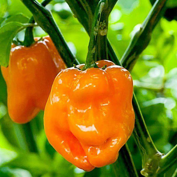 Перец хабанеро: особенности выращивания и ухода в домашних условиях