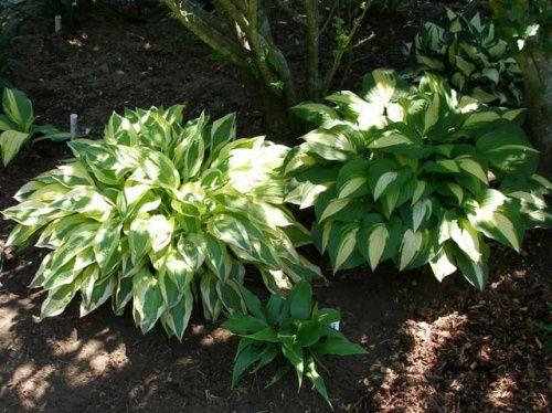 Особенности выращивания хосты в саду, посадка и уход