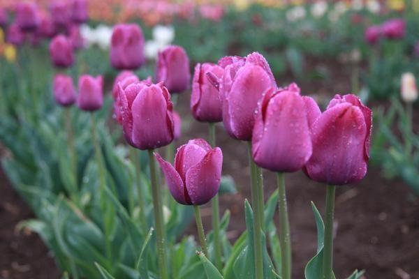 Domače sorte tulipanov