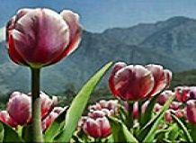 Odprte shrinagarsky vrt tulipani
