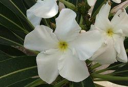 Пахиподиум – пальма с Мадагаскара