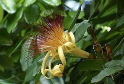 Пахира акватика – деревце с ванильным ароматом