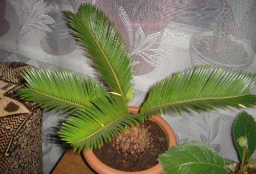 Пальма цикас: уход и выращивание для начинающих цветоводов