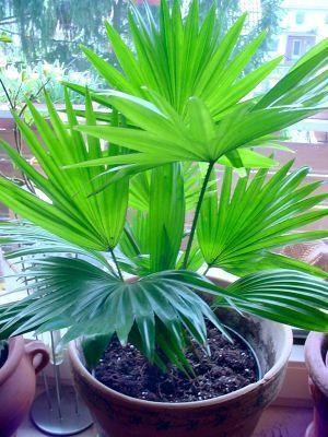Пальма ливистона - экзотика прямо в доме