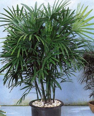 Пальма на подоконнике