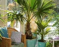 Пальмы для городских квартир и офисов