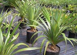 Панданус: уход за винтовой пальмой