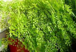 Папоротник с ажурной листвой