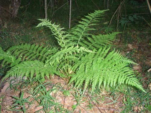 Vejice v gozdu - skrivnostna rastlina iz antičnih časov