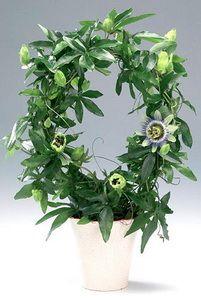 Пассифлора голубая: описание, особенности ухода и выращивания растения