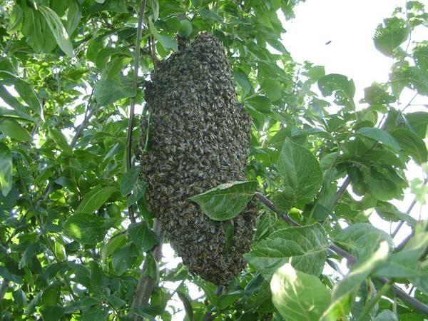 Рой пчел в моем саду