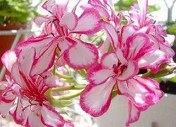 пеларгонии из семян