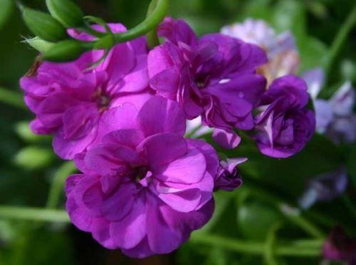 Пеларгония - пылающие факелы соцветий
