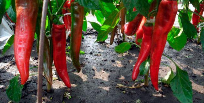 Pepper - creșterea și îngrijirea în câmp deschis