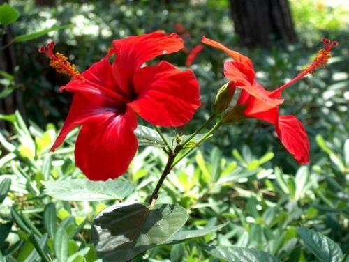 Presaditev hibiskus potrebna za rast