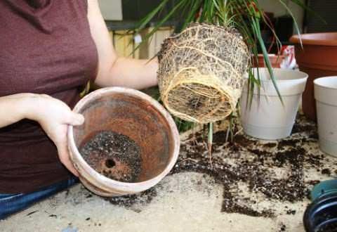 Presajanje sobne rastline osnovna pravila