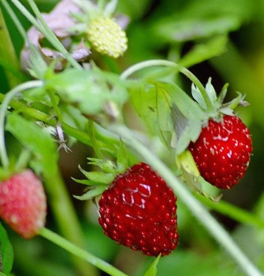Presaditev jagode in njeno gojenje