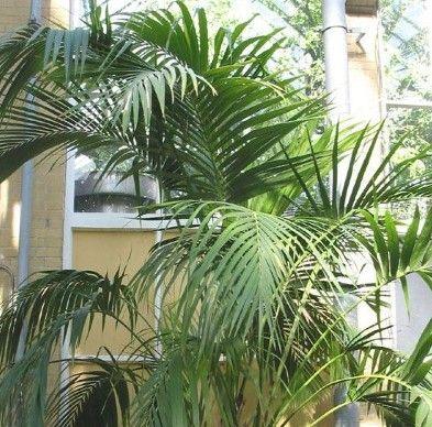 Перистые пальмы и их выращивание