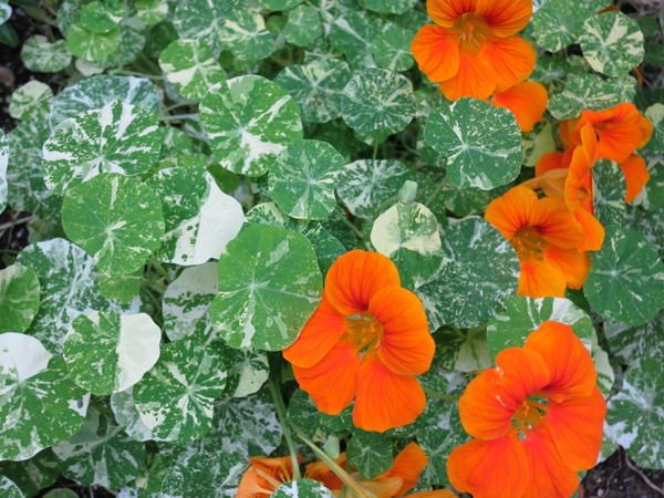 Пъстра цъфтящи растения -