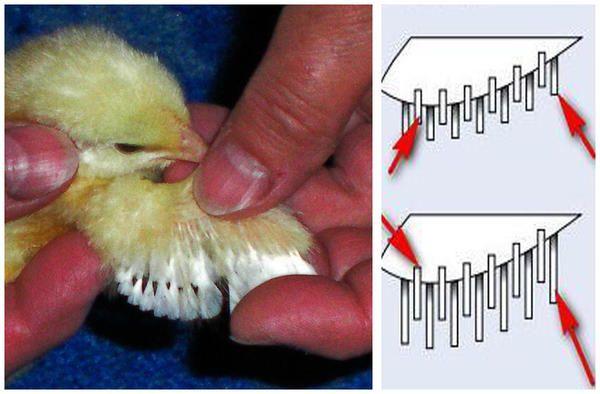 Крылышко цыплёнка и схема расположения перьев. Это курочка.