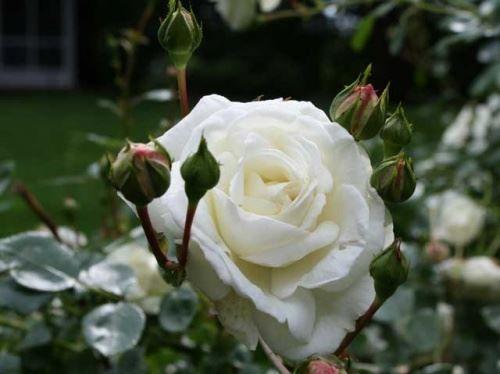 Плетистые розы - от посадки до цветения