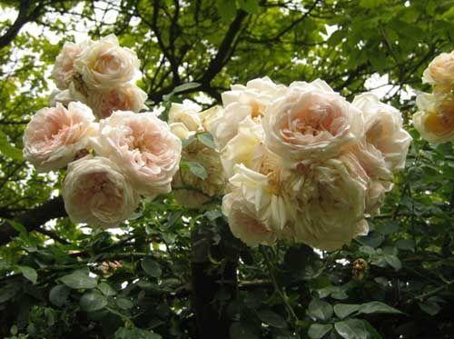 Плетистые розы по группам - рамблеры и клайминги