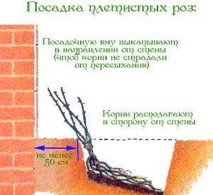 правила посадки плетистой розы