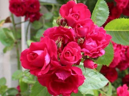 Плетистые розы в моем саду