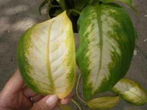 Желтеют листья диффенбахии