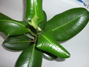 Листья фикуса сворачиваются