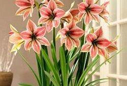 Zakaj ne gippeastrum cvet: odgovor