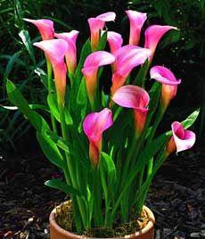 Почему калла не цветет, и как помочь растению?
