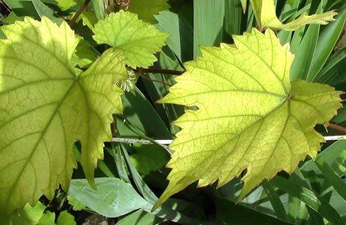 Виноград испытывает дефицит азота