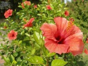 Почему не цветет гибискус летом?