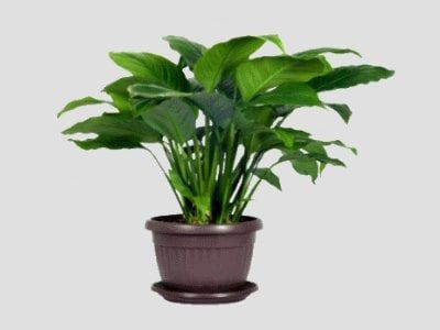 Zakaj ne Spathiphyllum cveti, morate vedeti, skrb za rastline