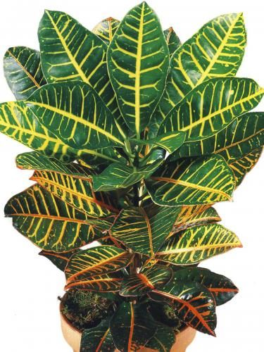 Zakaj sodijo v Croton listi?