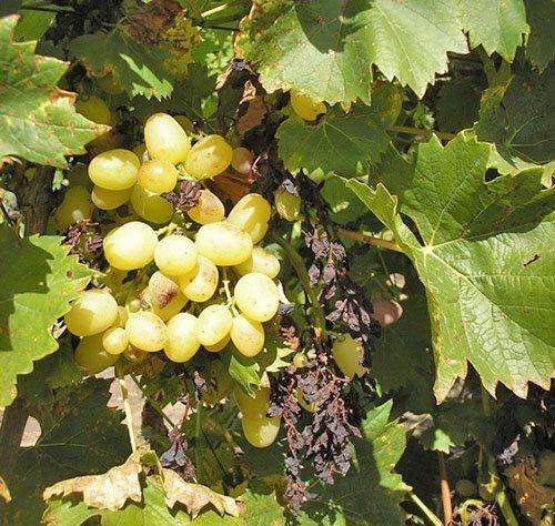 Виноград поражен болезнью