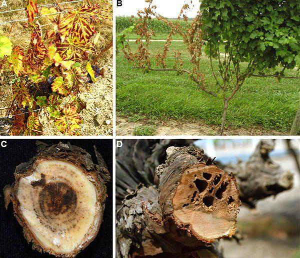 Сухорукавность виноградного куста