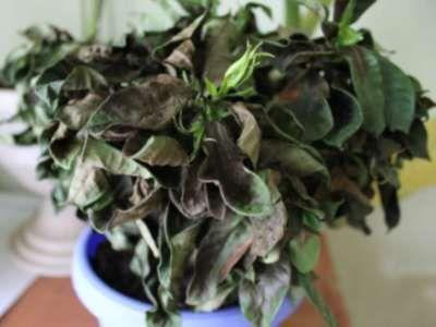 Zakaj Gardenia jasminoides listje črno in odpadejo