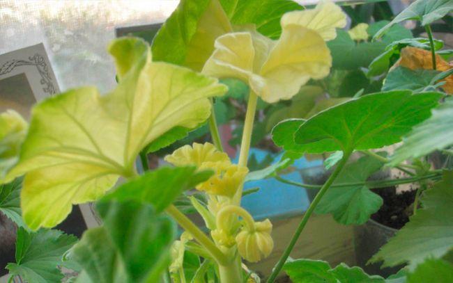 Как предотвратить появление сухих и жёлтых листьев у герани?