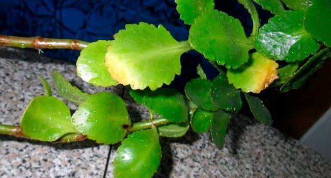 Zakaj listje rumeni kalanchoe?