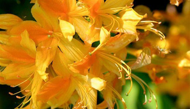 De ce frunze rândul său, galben, Rhododendron?