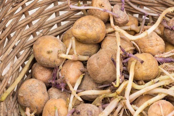 Картофель с ростками