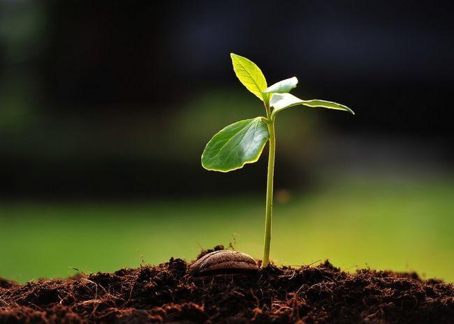 Priprava semena za sajenje