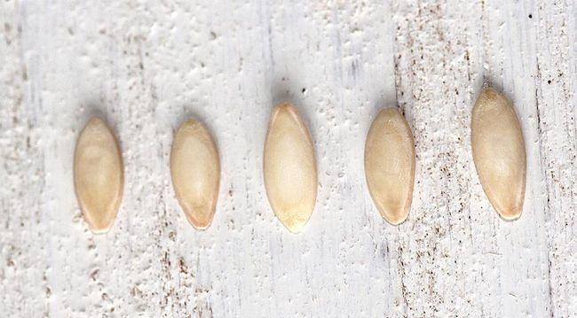 semena, kumare, raste kumare, priprava semena, sadike