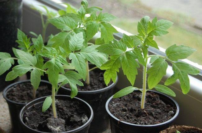 Priprava paradižnikova semena za sajenje sadik